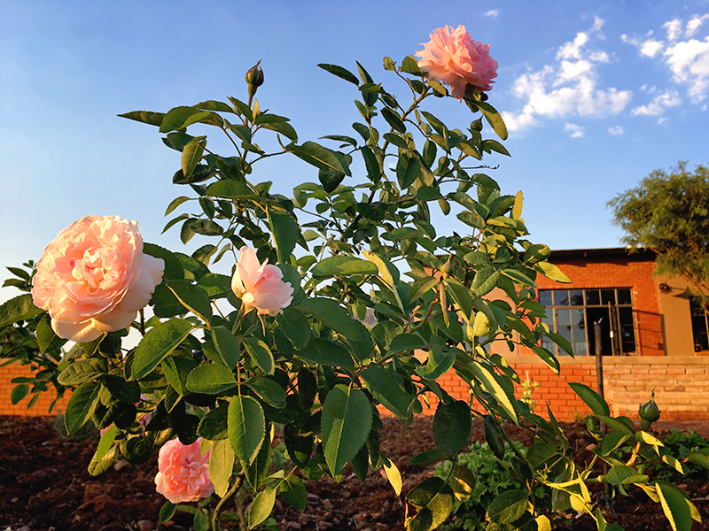 Margaret Roberts Roses at Incendo Distillery